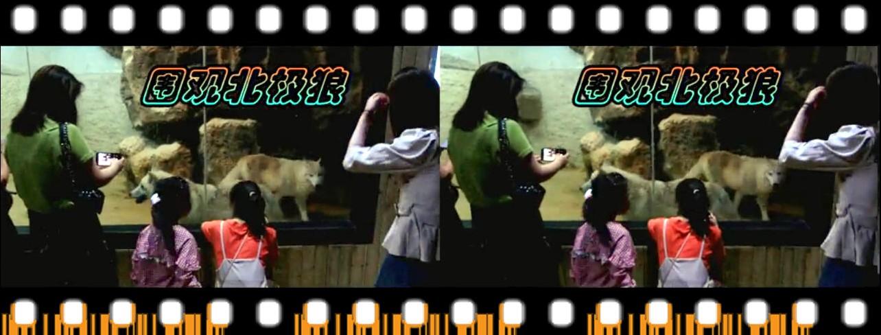 【原创】女生围观北极狼 -截屏