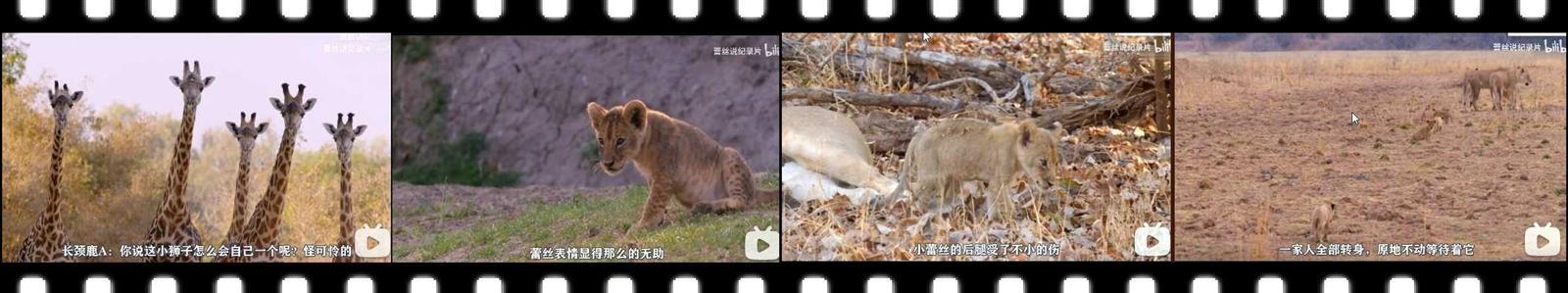 【视频】小狮子蕾丝的故事